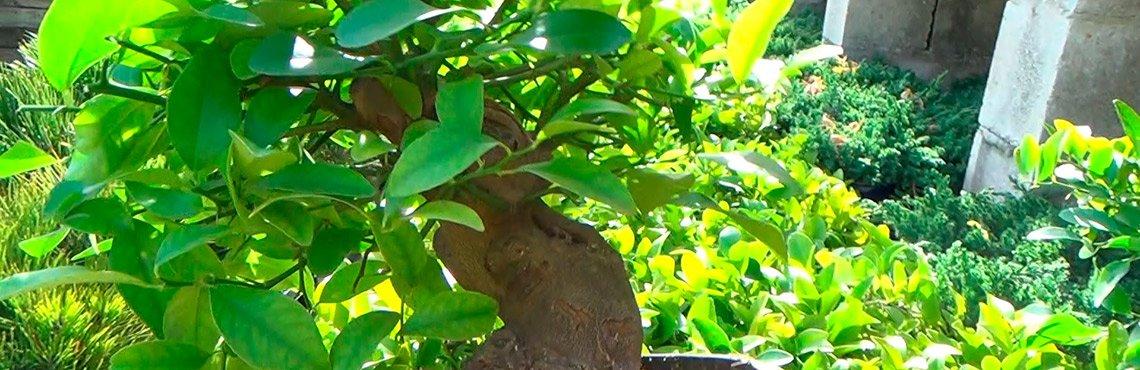 Historia de la naranja - Naranjas del árbol a casa