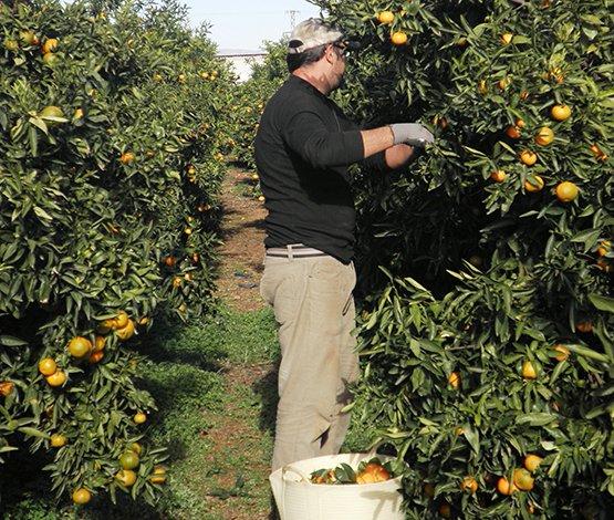 Recolectando nuestras naranjas